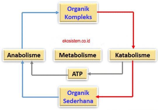 Anabolisme,Metabolisme,Katabolisme