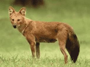 Anjing Hutan Omnivora