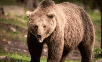 Beruang Omnivora