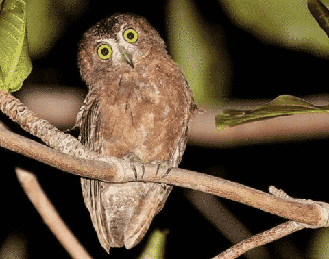 Burung Hantu (Celepuk) Siau