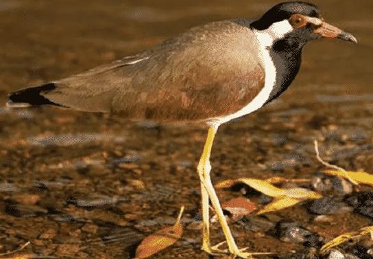 Burung Trulek Jawa