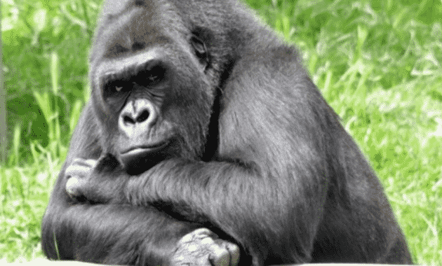 Gorila Hewan Omnivora