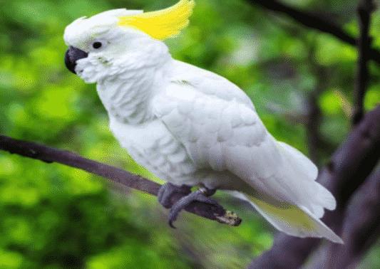 Kakatua Jambul Kuning