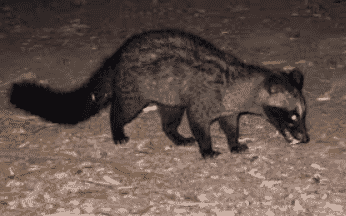 Luwak Omnivora