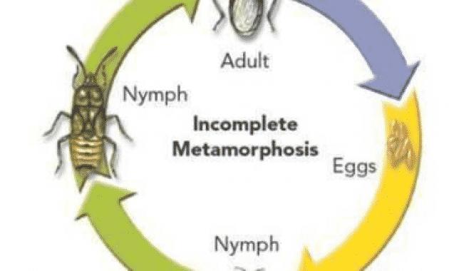 Metamorfosis tidak sempurna