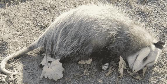 Oposssum laying