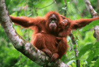 Orang Utan Sumatera dan Kalimantan