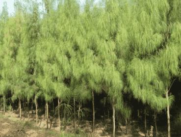 Pinus Cemara Ekosistem.co.id