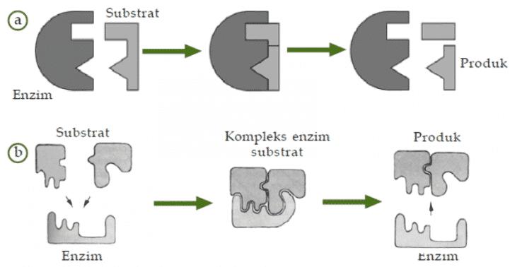 cara kerja enzime