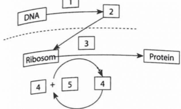 diagram sistesis protein
