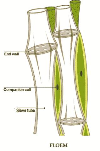 jaringan floem