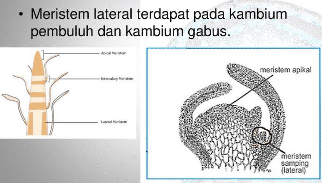 meristem lateral