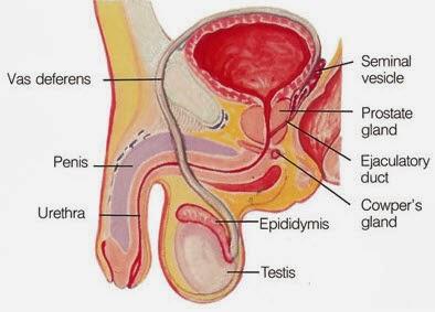 Organ Reproduksi Pria Hormon Beserta Fungsinya
