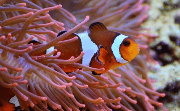 simbiosis Anemon Laut dan Ikan Badut