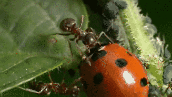 simbiosis Semut dan Kutu Daun