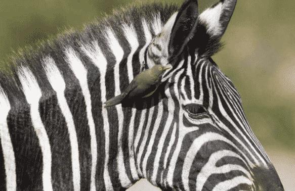 simbiosis Zebra dan Oxpeckers