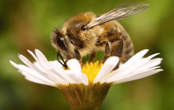 simbiosis lebah pada bunga