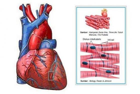 Otot Jantung Fungsi Beserta Gambarnya