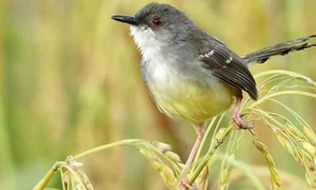 Unduh 720+  Gambar Burung Pipit  Terbaik Free