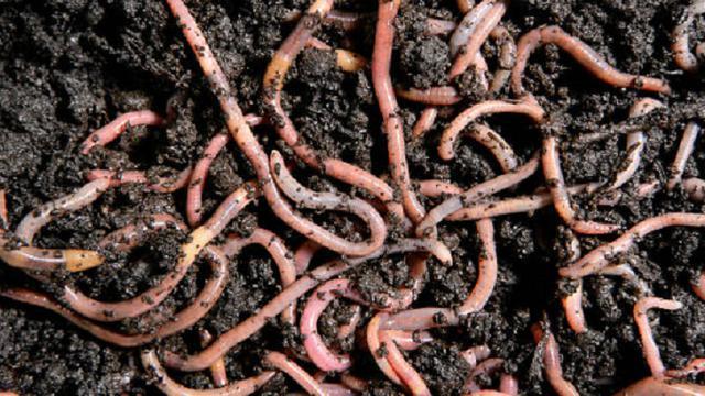 cara budidaya cacing tanah