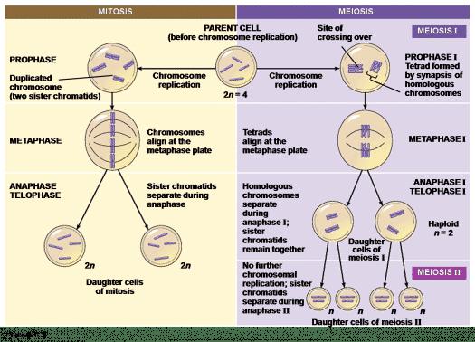 Perbedaan Mitosis Dan Meiosis
