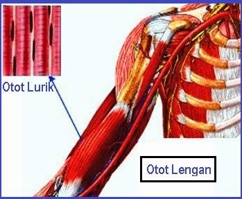 Otot Lurik Cara Kerja Bentuk Beserta Gambarnya