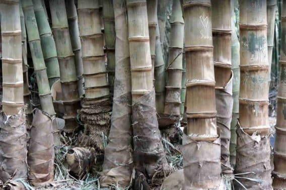 Poaceae - Penjelasan Beserta Contohnya