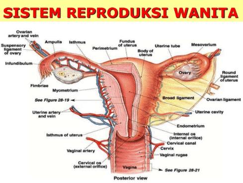 Sistem Reproduksi Wanita Dan Organ Penyusunnya