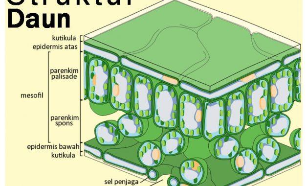 Penjelasan Struktur Akar Batang Dan Daun
