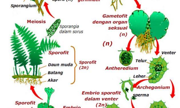 pernyataan berikut yang benar tentang metagenesis tumbuhan ...