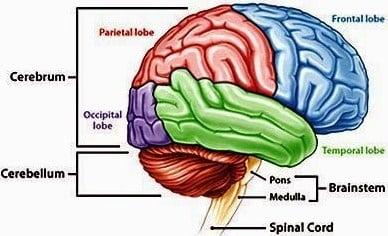 Organ Pada Manusia Sistem Fungsi Dilengkapi Dengan Gambar