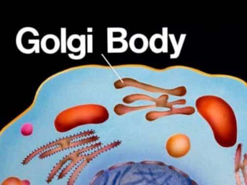 Fungsi Badan Golgi - Penjelasan Beserta Gambar