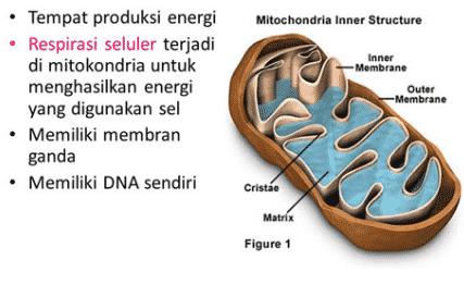 Fungsi Mitokondria Pengertian Dan Manfaatnya