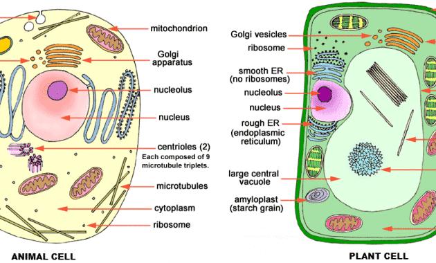 Organel Sel Hewan Dan Tumbuhan Beserta Fungsinya