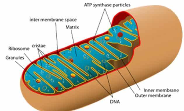 Fungsi Mitokondria Pada Sel Tumbuhan Brainly