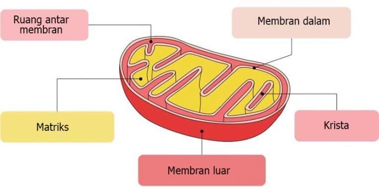 Mitokondria Struktur Karakter Dan Fungsi