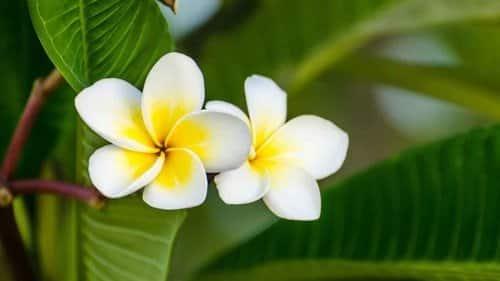 Bagian Bagian Bunga Kamboja