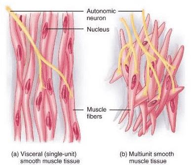 Jaringan Otot Ciri Ciri Fungsi Struktur Letak Dan Gambarnya