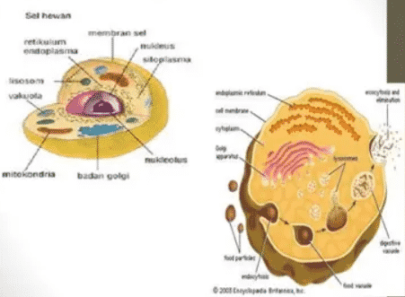 Gambar Sel Hewan Dan Tumbuhan Lengkap Dengan Fungsi Dan Struktur